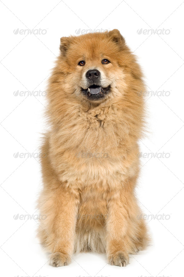 Chow chow (10 years) - Stock Photo - Images