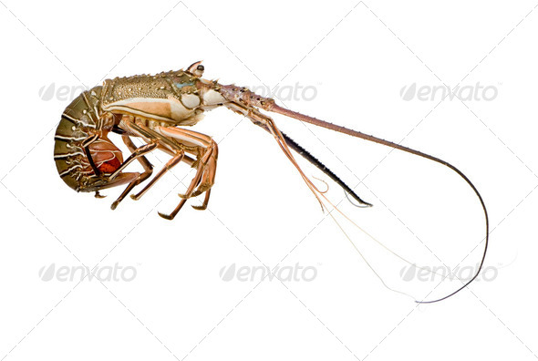 Spiny lobster - Palinuridae - Stock Photo - Images