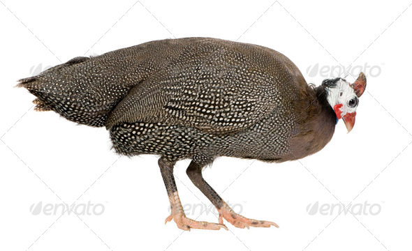 Helmeted guinea fowl - Numida meleagris - Stock Photo - Images