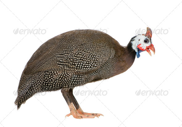 Helmeted guinea fowl - Numida meleagris - Stock Photo - Images