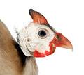 Helmeted guinea fowl - Numida meleagris