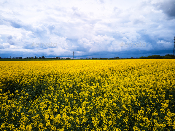 Aerial view of spring rapeseed flower field - Stock Photo - Images