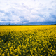 Aerial view of spring rapeseed flower field - PhotoDune Item for Sale