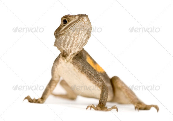 Agama lizard - Stock Photo - Images