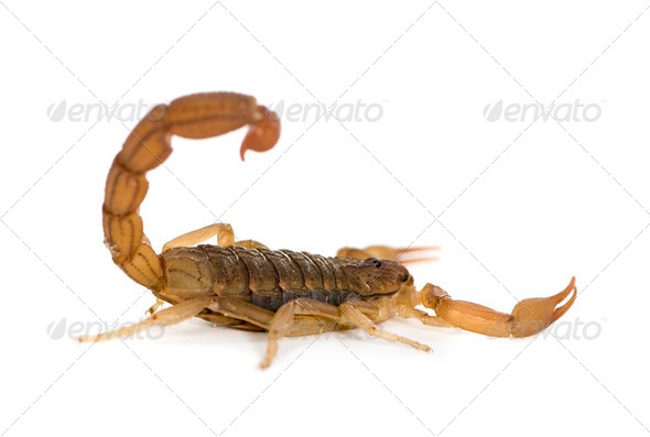 Scorpion - Hottentotta hottentotta - Stock Photo - Images