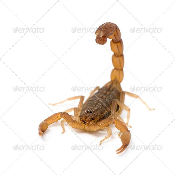 Scorpion - Hottentotta hottentotta - Stock Photo - Images