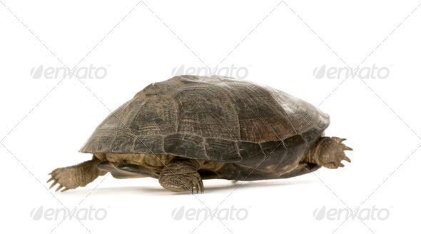 Turtle - pélusios subniger - Stock Photo - Images