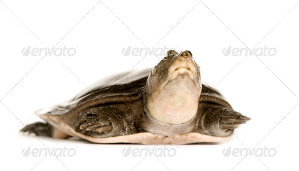 soft-shell turtles - Family: Trionychidae - Stock Photo - Images