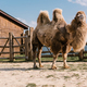 close up shot of two humped camel standing in corral at zoo - PhotoDune Item for Sale