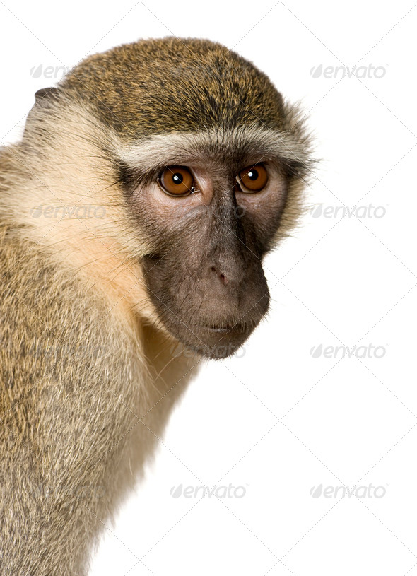 Vervet Monkey - Chlorocebus pygerythrus - Stock Photo - Images