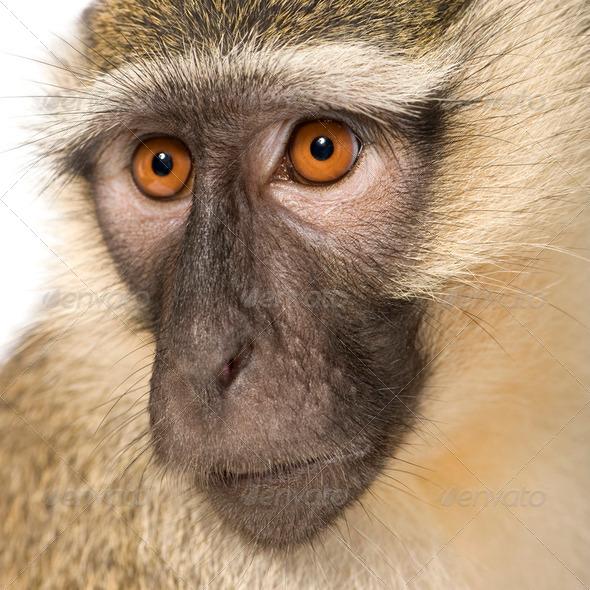 Vervet Monkey - Chlorocebus pygerythrus - Stock Photo - Images