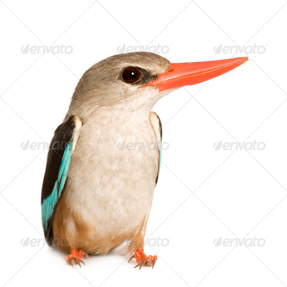 Woodland Kingfisher - Halcyon senegalensis - Stock Photo - Images