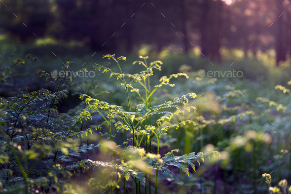 Forest during sunset - Stock Photo - Images