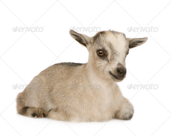 Young Pygmy goat - Stock Photo - Images