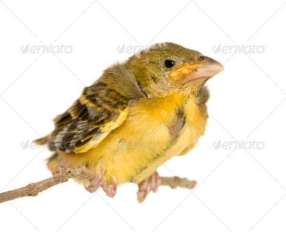 Young Village Weaver - Stock Photo - Images