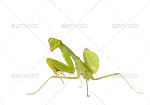 Praying mantis - Mantis religiosa - Stock Photo - Images
