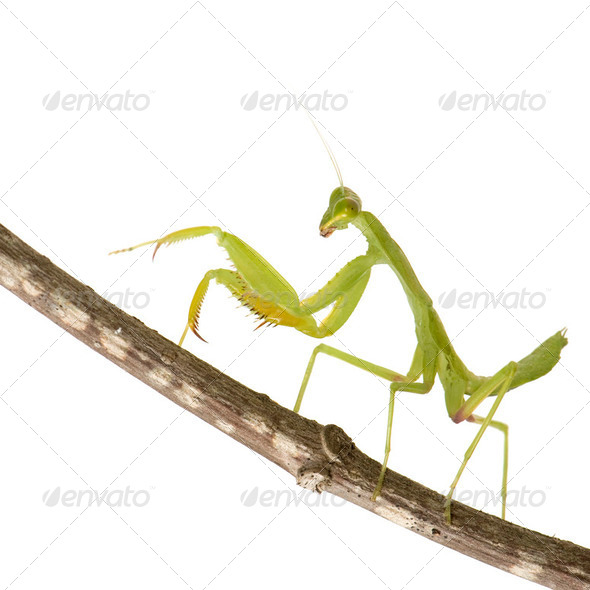 Praying mantis - Mantis religiosa - Stock Photo - Images