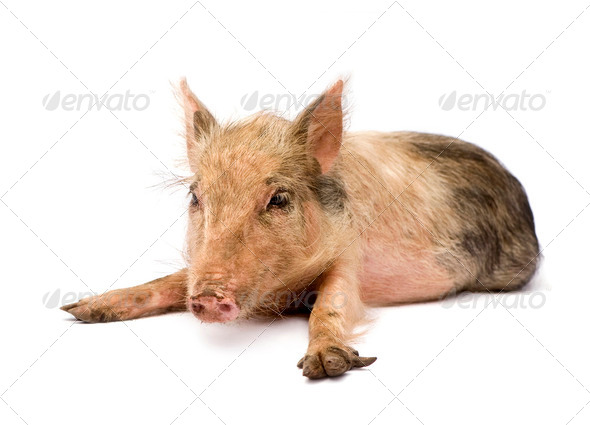 Pigglet - Stock Photo - Images
