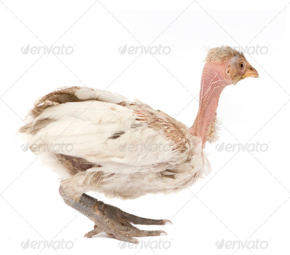 Hen from Benin - Stock Photo - Images