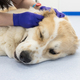 Closeup of veterinarian checks the ear of a Central asian shepherd dog. Dog under medical exam - PhotoDune Item for Sale