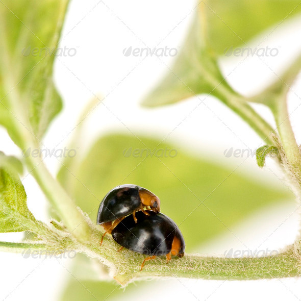 Ladybugs mating - Stock Photo - Images