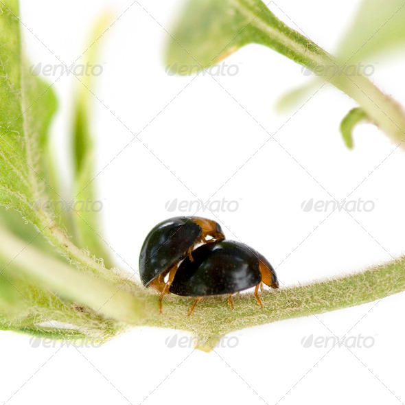 Ladybugs mating - Stock Photo - Images