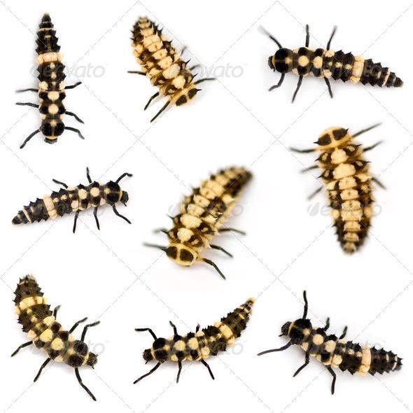 Ladybird larvae - Stock Photo - Images