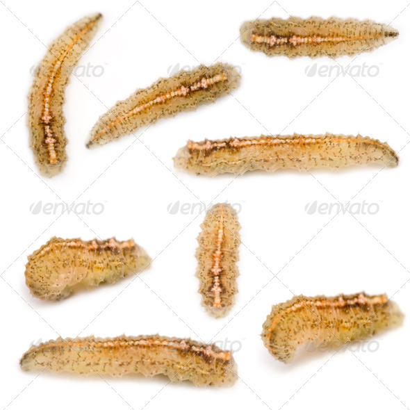 Hoverfly Larvae - Stock Photo - Images