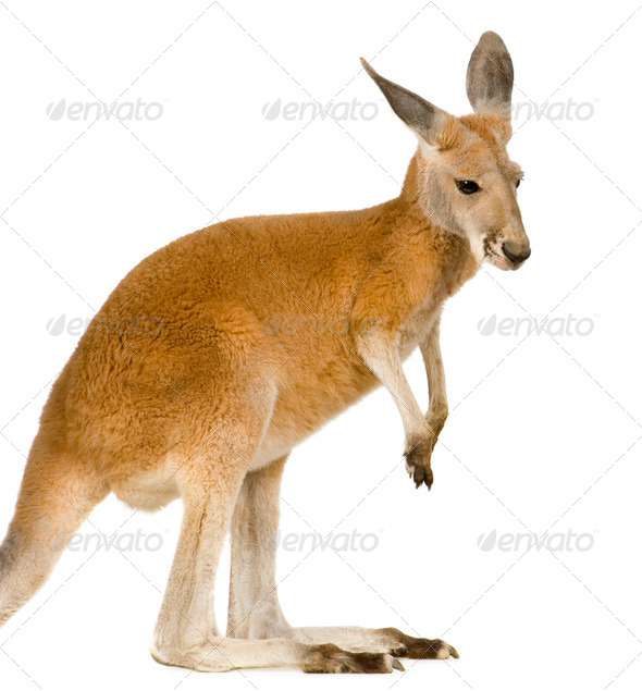 Young red kangaroo (9 months) - Macropus rufus - Stock Photo - Images