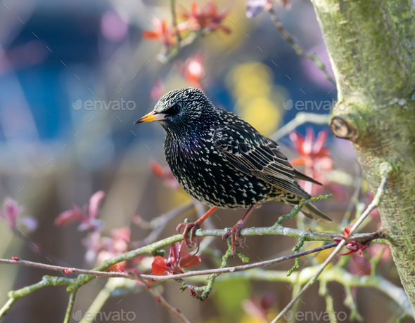 Closeup of a common starling - Stock Photo - Images
