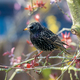 Closeup of a common starling - PhotoDune Item for Sale