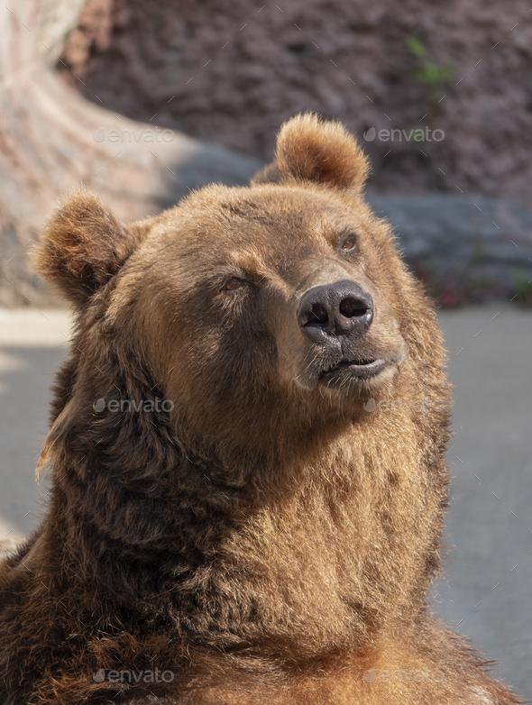 Brown Bear Ursus Arctos Portrait On The Hunt. - Stock Photo - Images