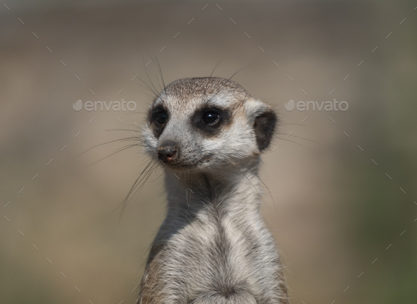 Meerkat Or Suricate Is A Small Carnivoran Belonging To The Mongoose Family. - Stock Photo - Images