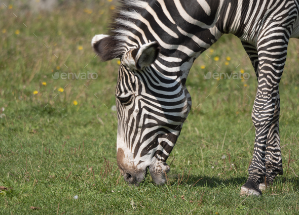 African Beautiful Zebra Eating Fresh Green Grass. - Stock Photo - Images