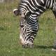 African Beautiful Zebra Eating Fresh Green Grass. - PhotoDune Item for Sale