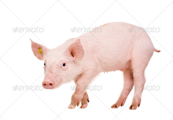 Young pig (+/-1 month) - Stock Photo - Images