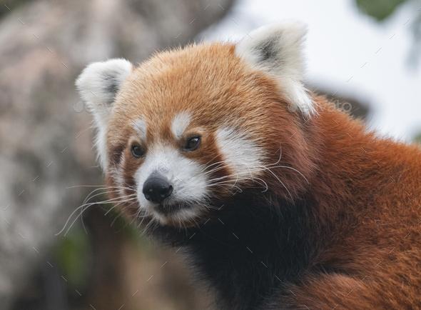Red Panda, Firefox Or Lesser Panda Ailurus Fulgens On The Tree. - Stock Photo - Images
