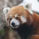 Red Panda, Firefox Or Lesser Panda Ailurus Fulgens On The Tree. - PhotoDune Item for Sale
