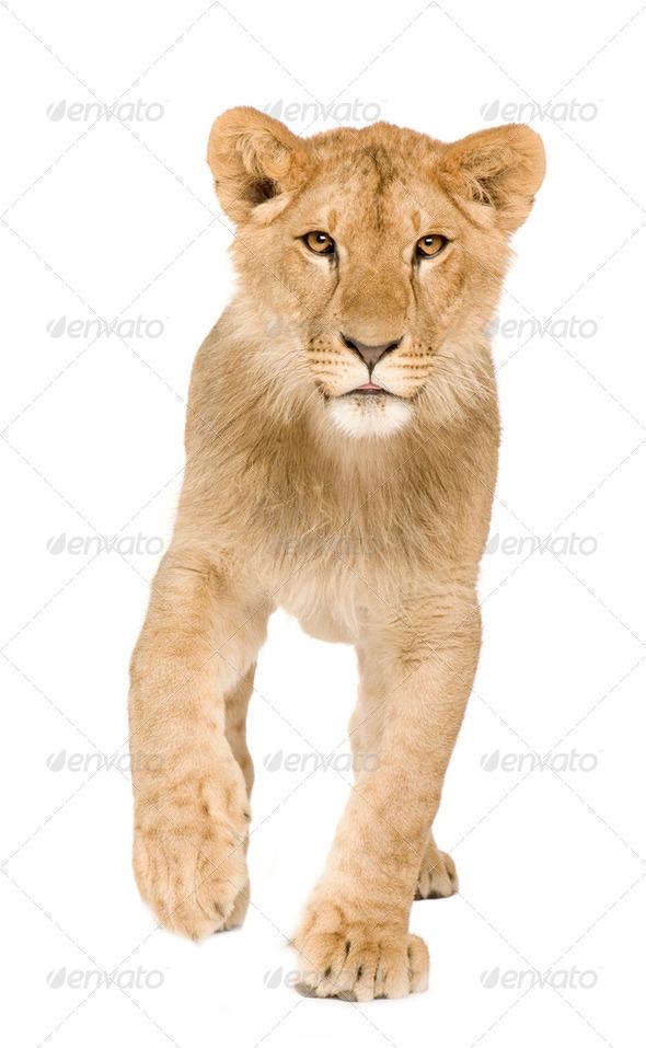Lion Cub (9 months) - Stock Photo - Images