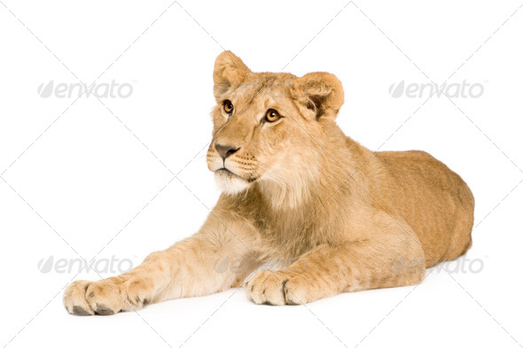 Lion Cub (9 months) - Stock Photo - Images
