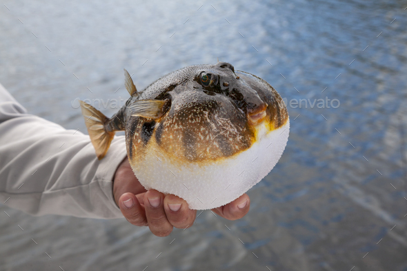Fishing guide holds up an inflated smooth puffer caught on the gulf coast of Florida - Stock Photo - Images
