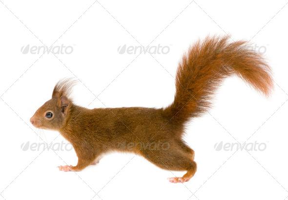 Eurasian red squirrel - Sciurus vulgaris (2 years) - Stock Photo - Images