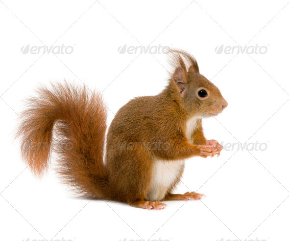 Eurasian red squirrel - Sciurus vulgaris (2 years) - Stock Photo - Images