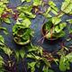Chard or leaf beets. - PhotoDune Item for Sale