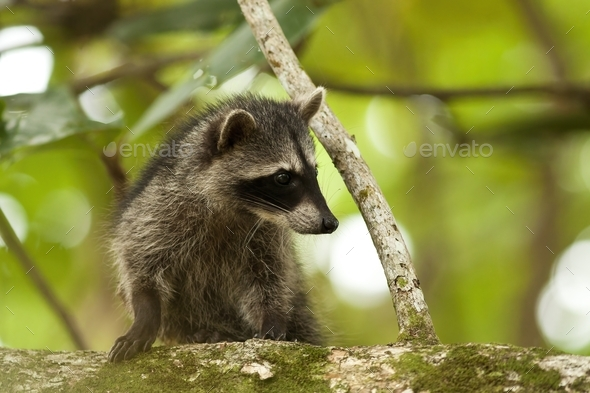 Cute raccoon cub climbing tree in a jungle of Costa Rica - Stock Photo - Images