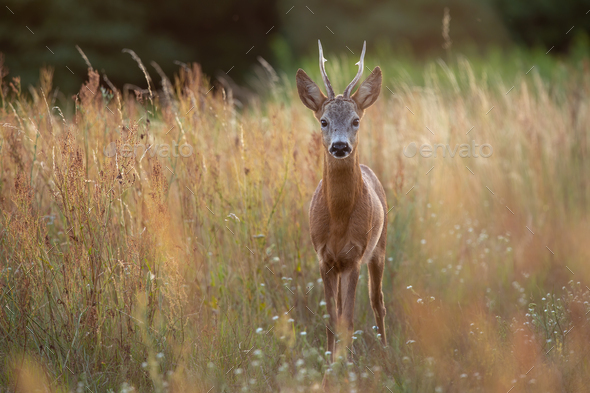 Roe deer buck standing in tall dry grass on a meadow in summer nature - Stock Photo - Images