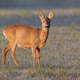 Female roe deer standing on a meadow in winter illuminated by rising sun - PhotoDune Item for Sale