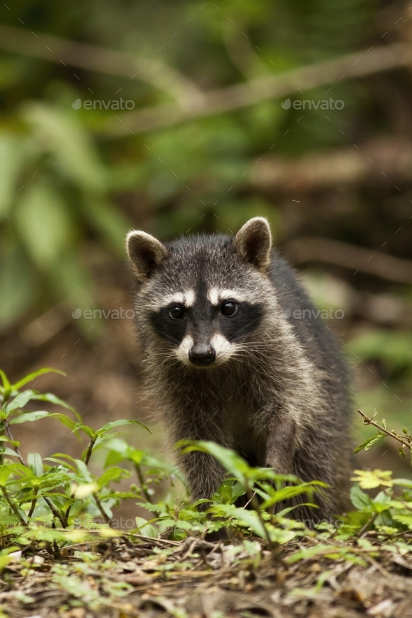 Vertical composition of a young raccoon walking on the ground in a jungle - Stock Photo - Images