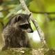 Cute raccoon cub climbing tree in a jungle of Costa Rica - PhotoDune Item for Sale