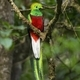 Exotic resplendent quetzal sitting on a branch in rainforest - PhotoDune Item for Sale